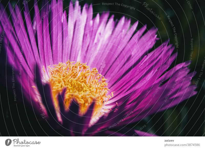 Macro of a carpobrotus flower with pink petals and yellow stamens nature vegetation natural blossom flowered flourished botany botanical blooming closeup detail