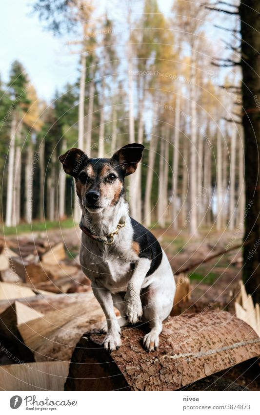 Jack Russell Terrier sitting on a log in the forest Jack Russell terrier jack russell Dog tree trunks Sit Forest Autumn Neckband Pet Animal Brown Cute