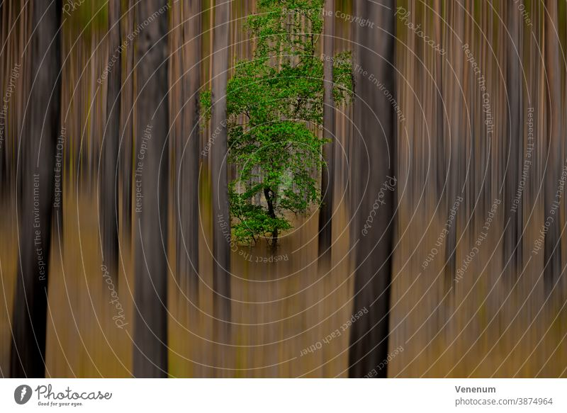 Single oak tree in a pine forest, subsequently processed for a surreal look Surrealism Forest Forest atmosphere Forest trees pines Abstract abstract art