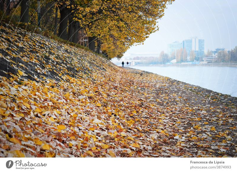 Autumn trees by the water Yellow leaves Water Sea promenade Perspective Nature Colour photo Exterior shot Copy Space bottom Day Edge of the forest Park Calm