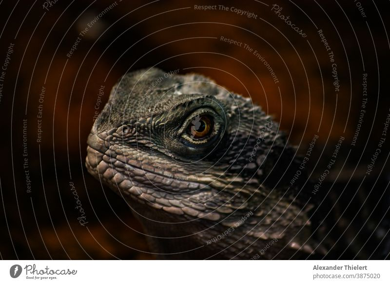 Portrait of a lizard Bearded dragon with a red brown background bearded dragon Saurians Reptiles Reptile eye Animal portrait lizard species Animal face Eyes