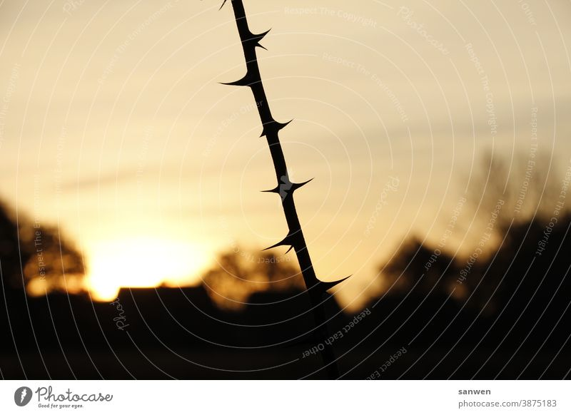 Branch at sunrise Sunrise Twig thorns prickles Point Plant Thorny Exterior shot House (Residential Structure) Nature