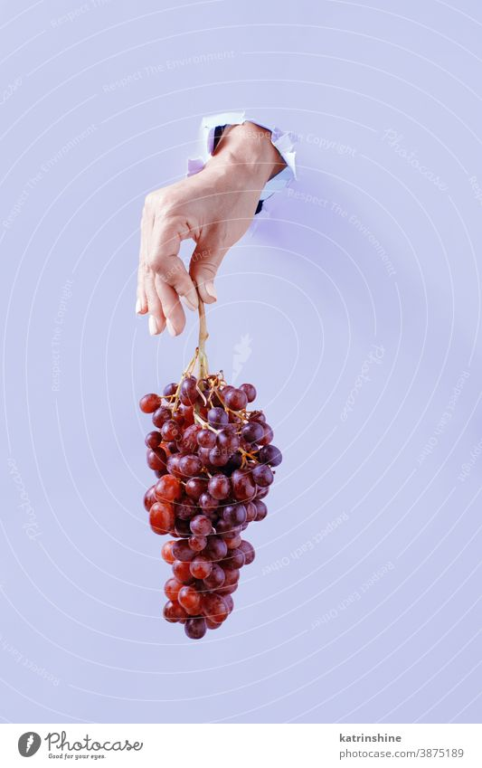 Hand keeping Grape cluster  from the hole in light purple paper hand grape lavender torn paper background close up pastel copy space minimal concept