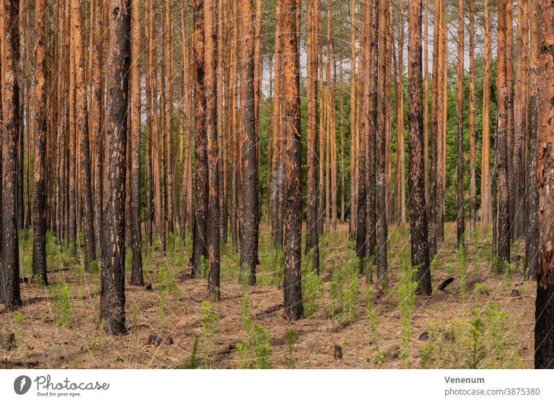 1 year after the forest fire near Frankenförde near Luckenwalde all pines are dead Forest Woodground Burnt Summer Forest fire Tree trees Dead trees charred