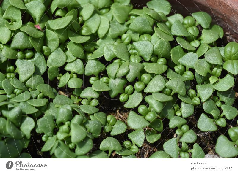 Basil, Ocimum basilicum, is a medicinal plant and kitchen spice with green leaves. Basil, Ocimum basilicum, is a medicinal plant and kitchen ware with green leaves.