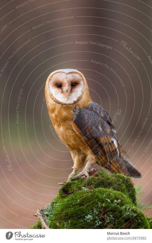 Barn owl, Tyto alba, barn owl Barn Owl Barnyard Owl Cave Owl Church Owl common barn owl death owl Delicate Owl Demon Owl Dobby Owl Owls Owl Bird Owl birds