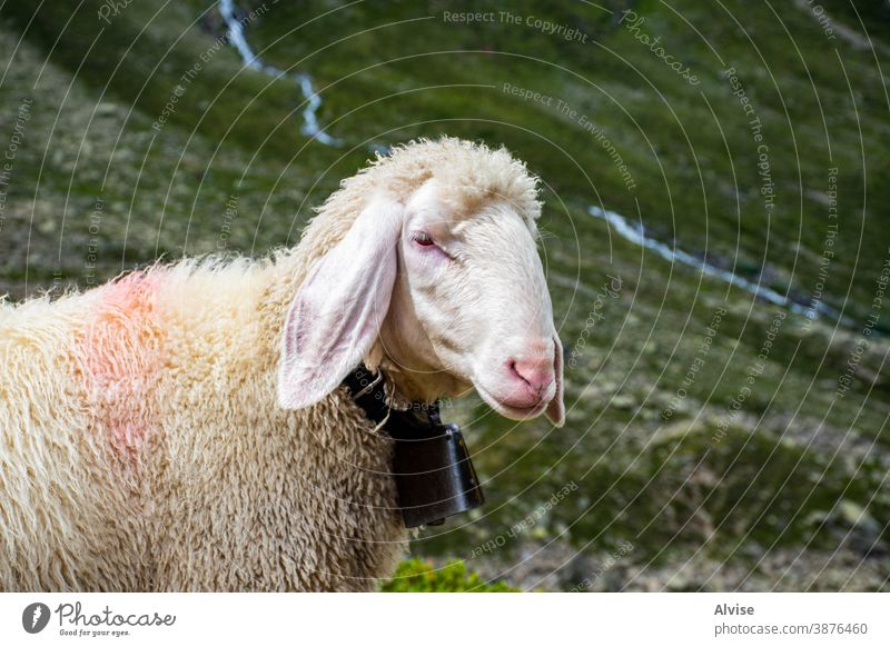 sheep graze in Tyrol four gaze animals crow eyes breeding cattle looking front lamb farming tongue amusing comical expression humorous head face curious ewe