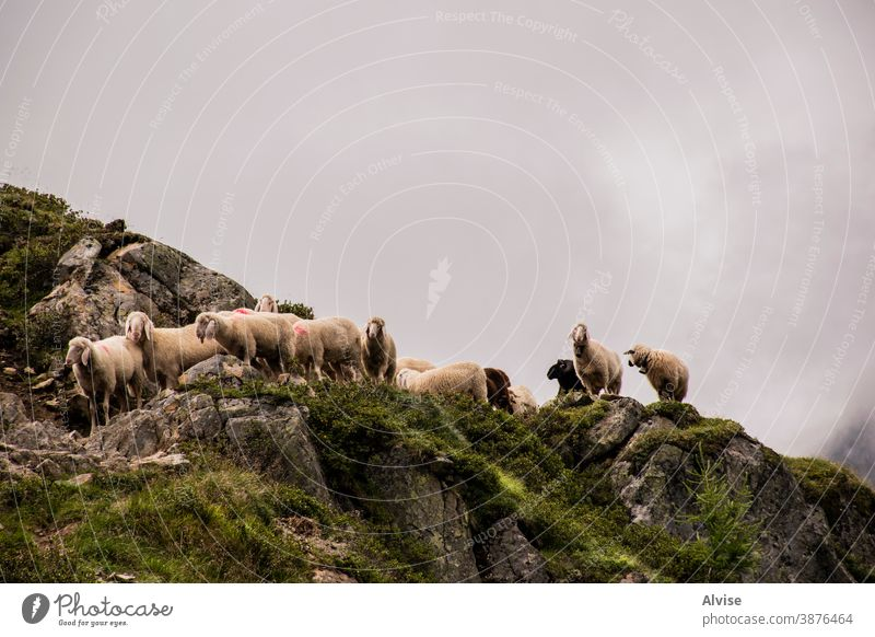 sheep graze in Tyrol one gaze animals crow eyes breeding cattle looking front lamb farming tongue amusing comical expression humorous head face curious ewe