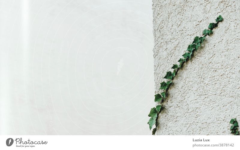 Ivy vines on a house wall, rough plaster and soft light house corner Building corner Part of a building Tendril ivy vine Light Plaster Rendered facade White