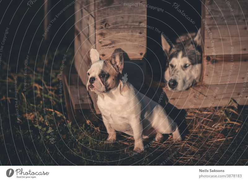 French bulldog puppy and Siberian husky Dog Husky Animal Exterior shot Sled dog Colour photo Day Animal portrait Adventure Deserted Observe Looking Pet