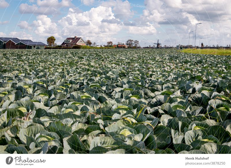 Growing and harvesting pointed cabbage agriculture background beautiful brassica oleracea closeup cut diet edible field food fresh freshness garden gardening