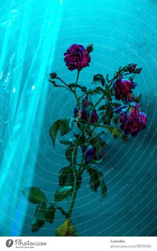 Red Roses pink Flower Romance horrendous Horror film Window Green plastic Greenhouse