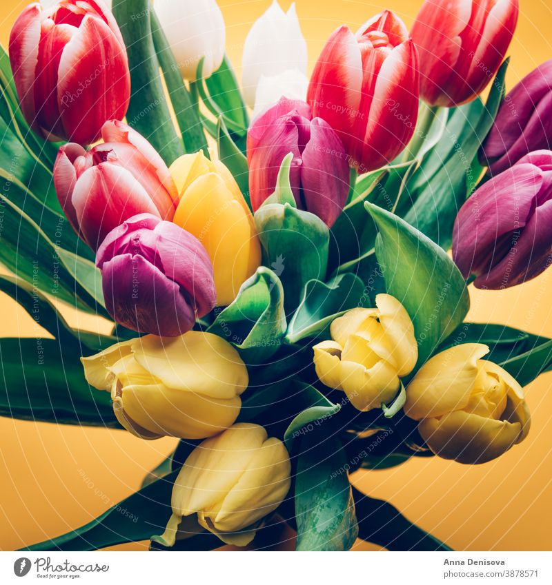 Colorful Classic Tulips tulip day bunch flower bouquet mothers day purple pink nature spring green 8 march beautiful color blossom card summer red gift closeup