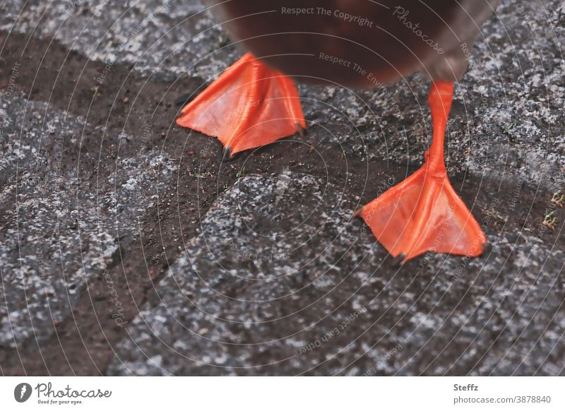 Happy New Year! good slide duck feet duckfoot Duck walk Going off bricks Colour orange Gray Paving stone Waddle Street get ahead Sidewalk In transit Going out