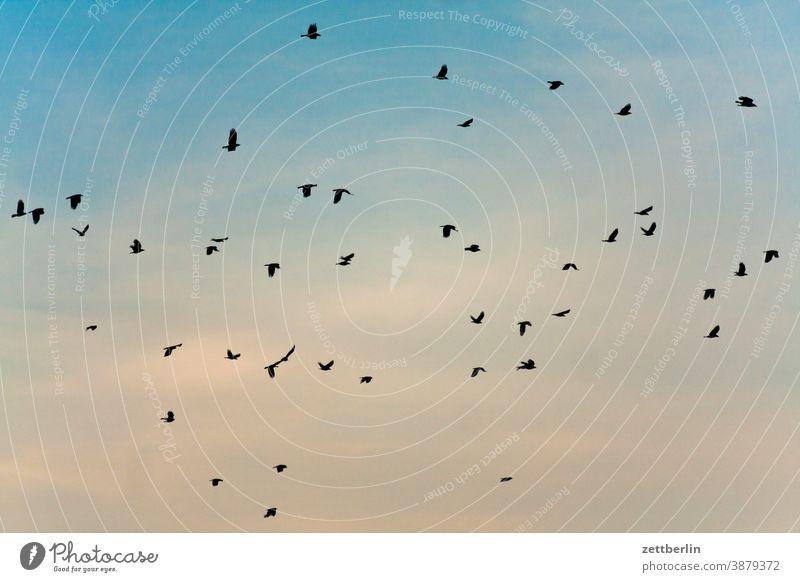 Flying birds Judder Sky crow Seagull Flock Bird Flock of birds Migratory bird wide departure home flight approach raven Crow Starling shoofy crowd