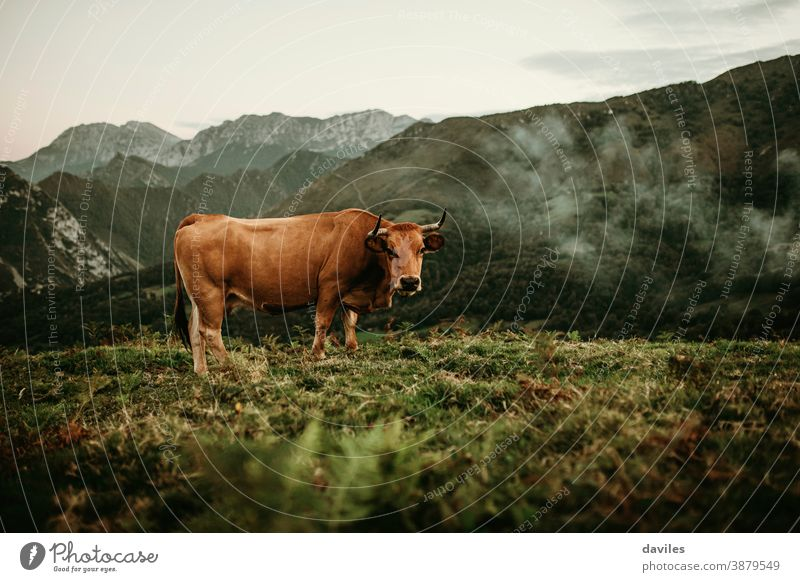 Brown cow pasturing on a meadow at Picos de Europa in Asturias, Spain. horns valley cantabria brown cow animals industry countryside wildlife alps asturias