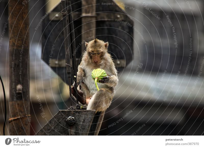 monkey Breakfast Vegetarian diet Vacation & Travel Crossroads Railroad crossing 1 Animal Eating To feed To enjoy Crouch Sit Exceptional Happy Delicious Serene