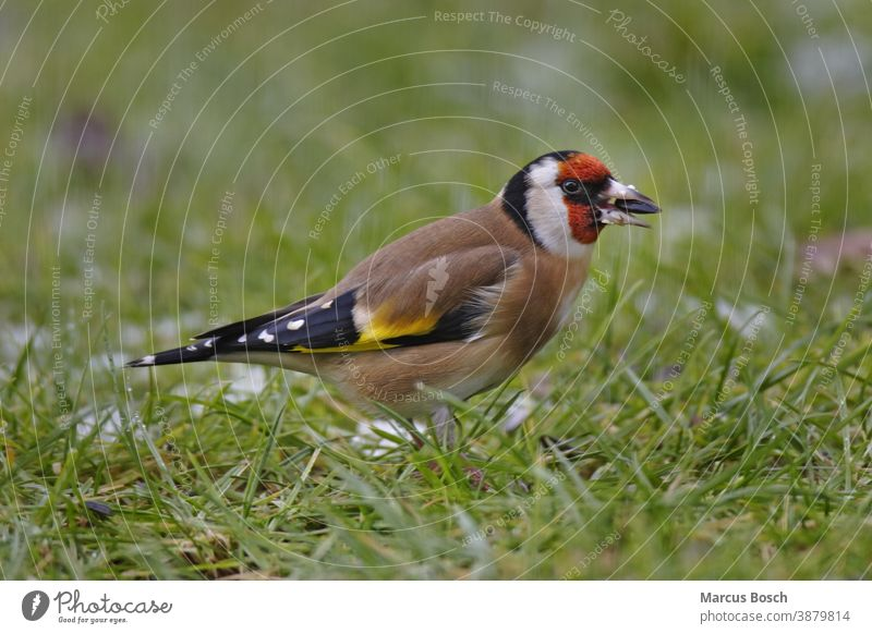 Stieglitz, Carduelis carduelis, European goldfinch Blumen Futter Futtersuche Passeriformes Samen Samenfresser Voegel brutvogel cardueliscarduelis chardonneret