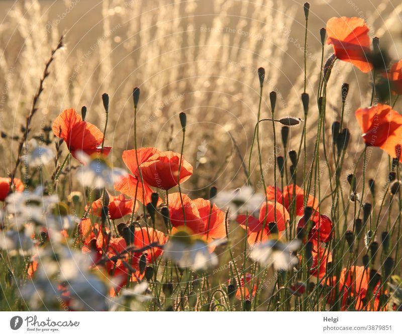 2500 | light-flooded summer flowers at the edge of the field Flower Blossom poppy flower margarite Margin of a field grasses bud Light Shadow Sunlight