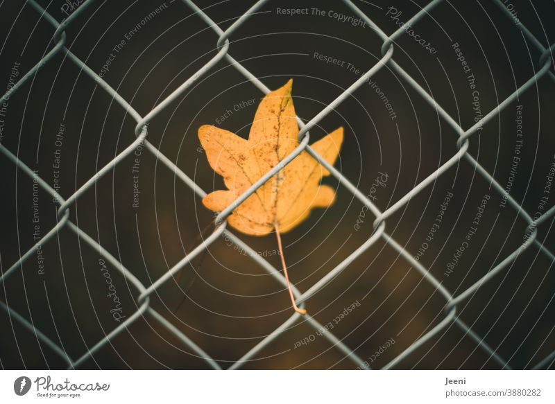 Gone with the wind - small yellow autumnal maple leaf caught in the wire mesh fence Maple tree Maple leaf Yellow Orange Autumn Leaf Wire netting fence