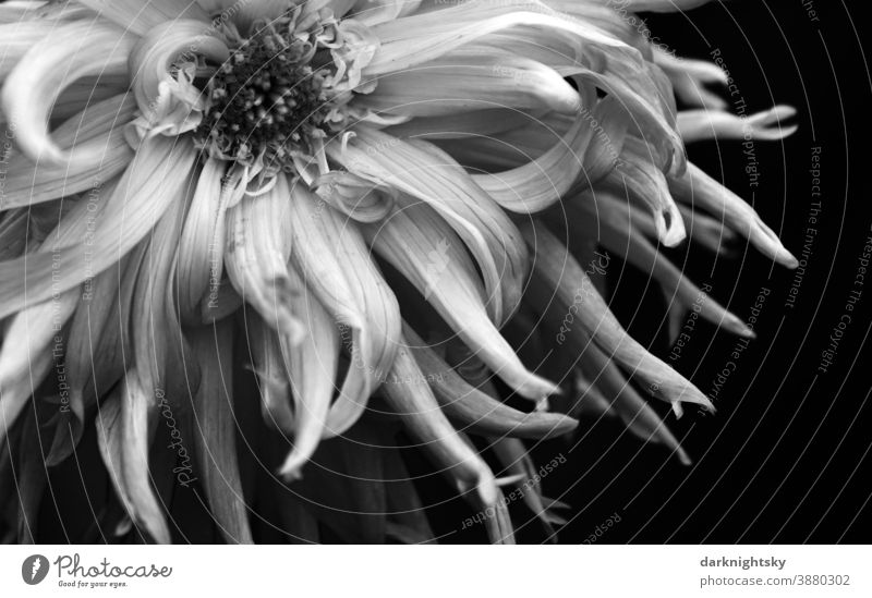 Detail shot of a cactus dahlia in black and white, Dahlia hortensis, macro Cactus dahlia detail Blossom Grief organic shape structure leaves petals Plant Garden