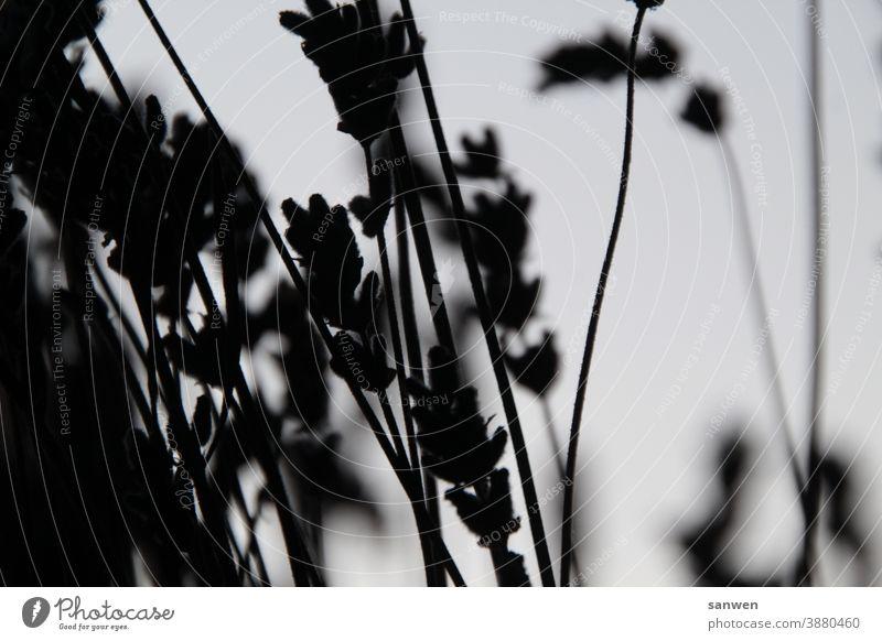 lavender Lavender blossoms Plant Flower Fragrance Violet black and white Summer
