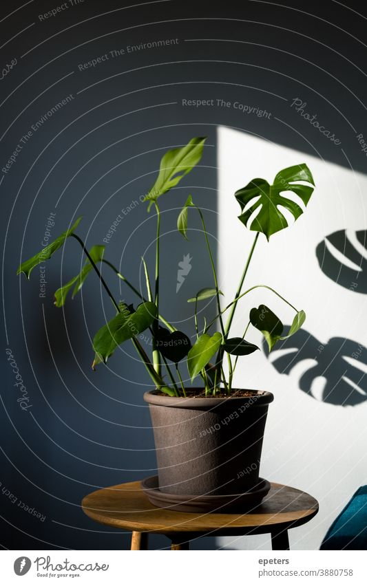 Monstera deliciosa in a modern home interior calm green growth shadows blue plant potted plants botany decoration background