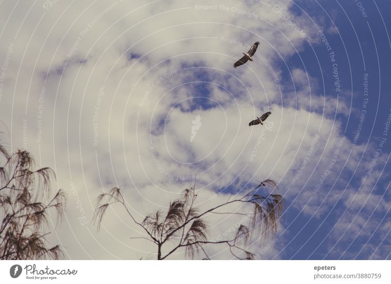 Two white-bellied sea eagles flying high against a cloudy sky in Queensland, Australia Eagle White-bellied Sea Eagle flying birds Flying Sky Grand piano