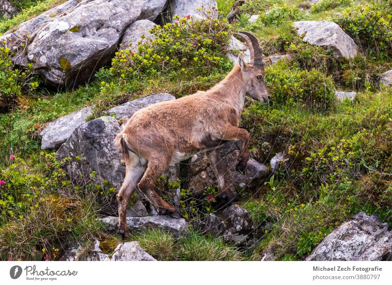 wild ibex on Niederhorn near Beatenberg in swiss alps mountain switzerland nature goat alpine landscape animal rock outdoor hiking wildlife europe travel