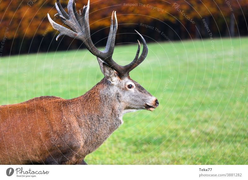 The stag Animal Forest Autumn animals Grass trees Tree Wild animal the stag