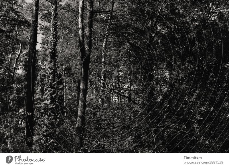 A somewhat gloomy summer forest Forest trees shrubby Ivy Nature Tree Environment Calm Dark somber Deserted Black & white photo