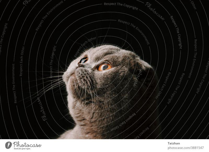 studio portrait of a cute purebred scottish fold cat close up . Black background eye looking pet kitten animal black background feline mammal young dark