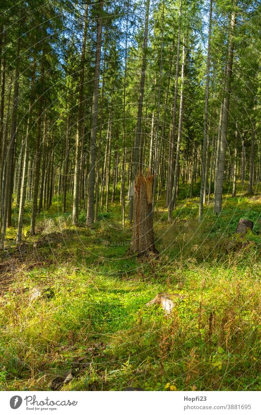 Folded tree in the Black Forest Spruce Spruce forest spruces mountains forest path Nature Exterior shot Colour photo Tree Deserted Landscape Environment Plant