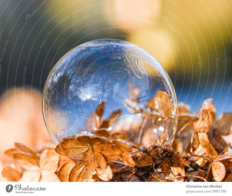 A soap bubble in which the sky and trees are reflected lies on a dried up light brown hydrangea flower Soap bubble reflection Reflection Hydrangea blossom Dry