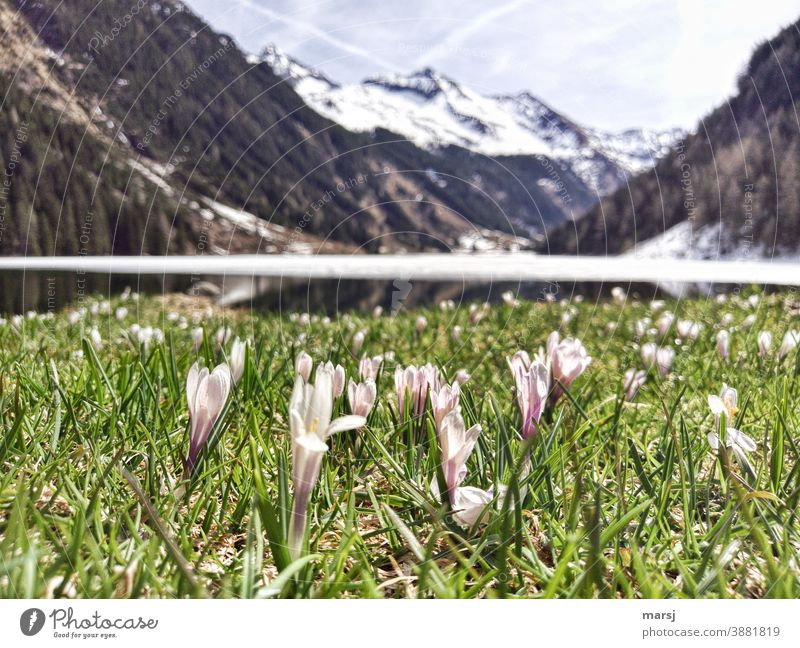 Crocus meadow at a mountain lake. Lake Riesach Mountain lake crocus Crocus Meadow Wild plant Blossom Violet Spring Flower naturally Spring flowering plant