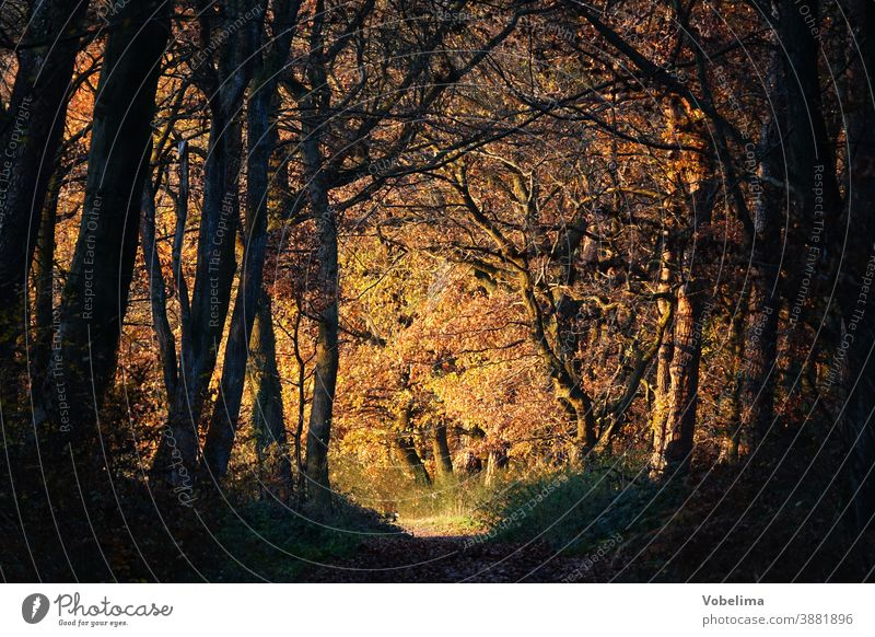 Forest path in autumn with evening light forest path Forest road off Automn wood Autumn Tree Beech tree Book Beech wood Leaf leaves variegated Autumnal