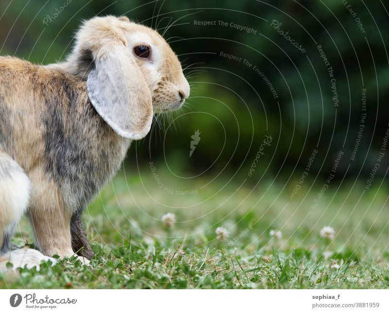 dwarf ram rabbit in garden, sitting on green grass, cute bunny meadow spring pet floppy ears spring vibes green background field nature wild looking freedom