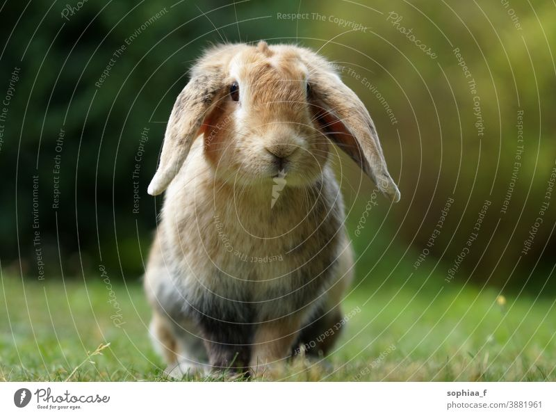 dwarf ram rabbit in garden, sitting on green grass, cute bunny floppy ears pet meadow spring spring vibes green background field nature wild looking freedom