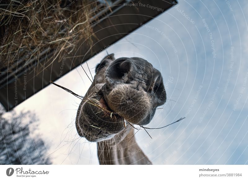 horse eating hay Agriculture Exterior shot Field Colour photo Wide angle Farm animal straight up Funny Eating Animal Day Grass Animal portrait Pasture