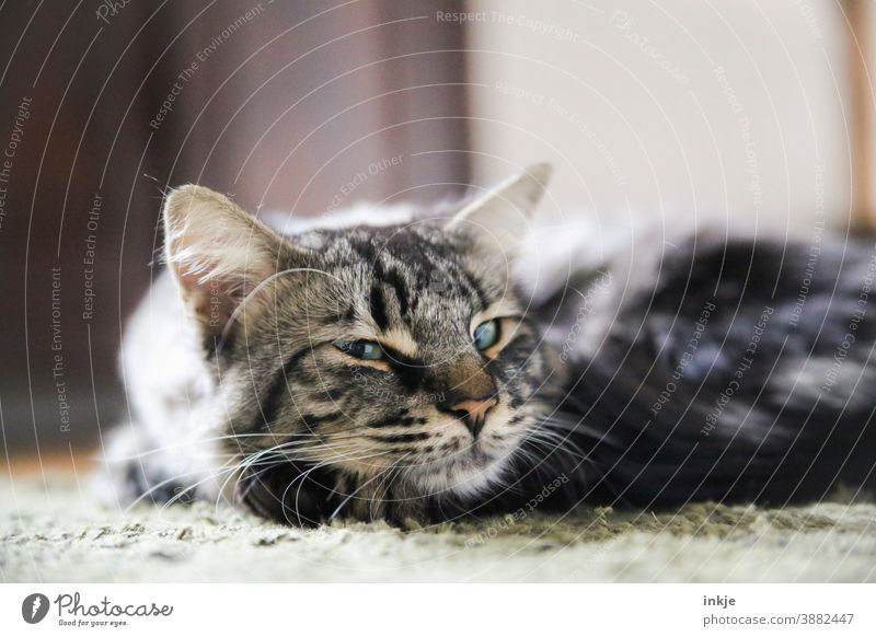 close up lying tomcat blinks at camera Colour photo Close-up shallow depth of field hangover Pet animal portrait Cat Sleep Lie Cute tired Looking Cozy at home