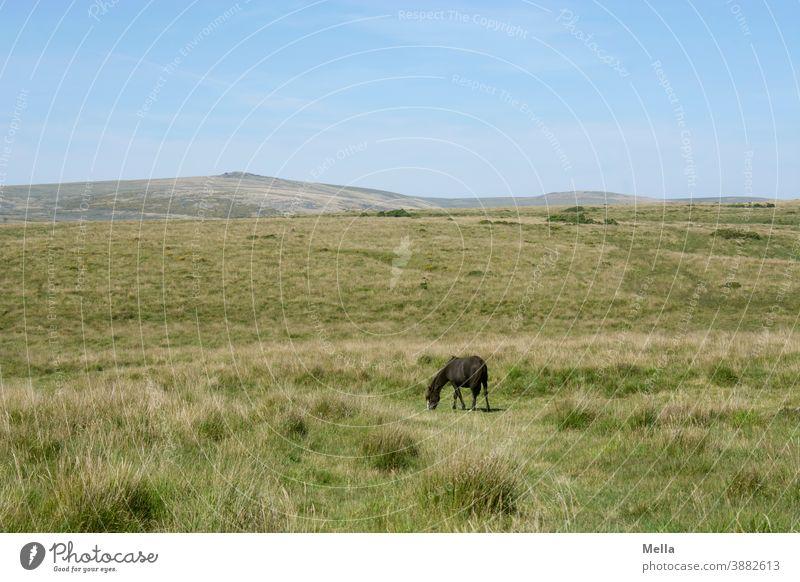 corona thoughts | Isolation - Dartmoor pony grazing alone on Dartmoor Horse Bangs Dartmoor Pony Free Animal Colour photo Exterior shot Great Britain