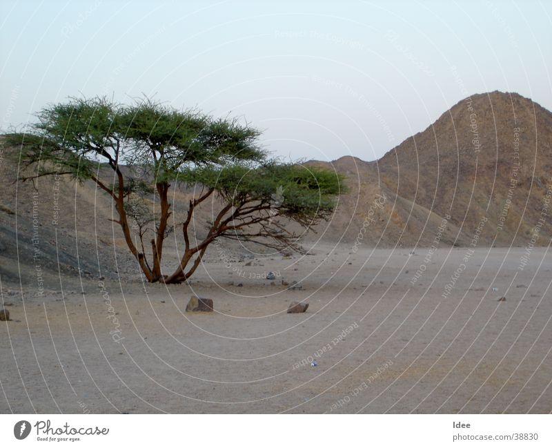 Tree Sun Sand Desert Africa Egypt Sahara