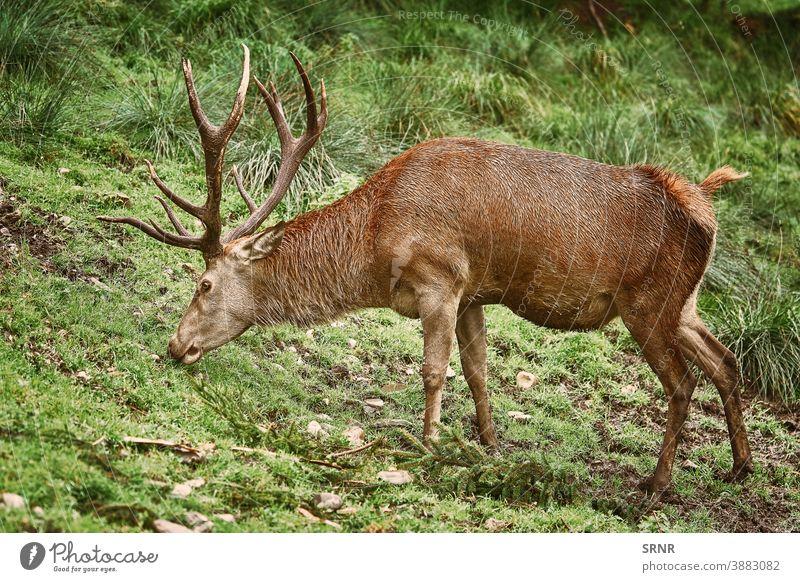 Deer Grazing on the Grass animal antler antlers artiodactyl axis axis axis deer cervidae cervus elaphus cleft-footed cloven-footed cloven-hoofed deer antlers