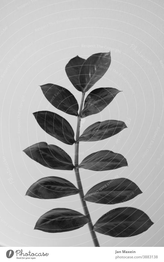plant Plant plants Leaf Rachis leaves stalk Black & white photo stick out Stand Direct Modern Esthetic Nature Green Close-up Houseplant pretty botanical Exotic