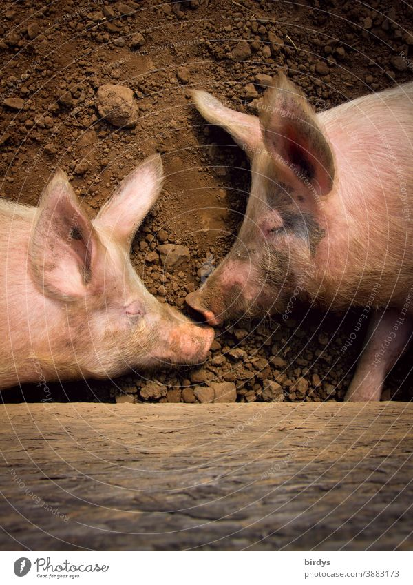 Two domestic pigs sleep on the ground. Outdoor pigs, free range farming in agriculture, pig keeping Domestic pigs pig farming Organic farming