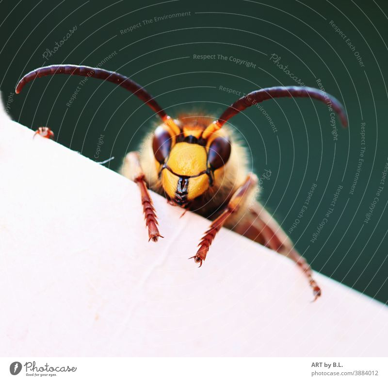 Hornet crawls over a white painted board Hello Insect hornet Animal Feeler inquisitorial Curiosity