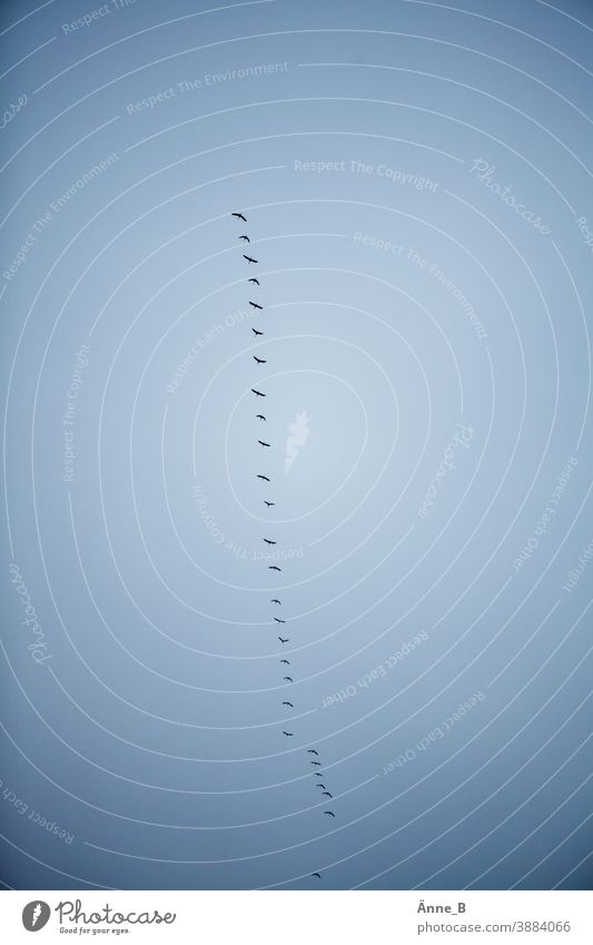 Migratory birds in the sky Flying Judder Sky Flock Bird bird migration Train departure awakening approach Trajectory airline Free Wild instinct Blue Nature