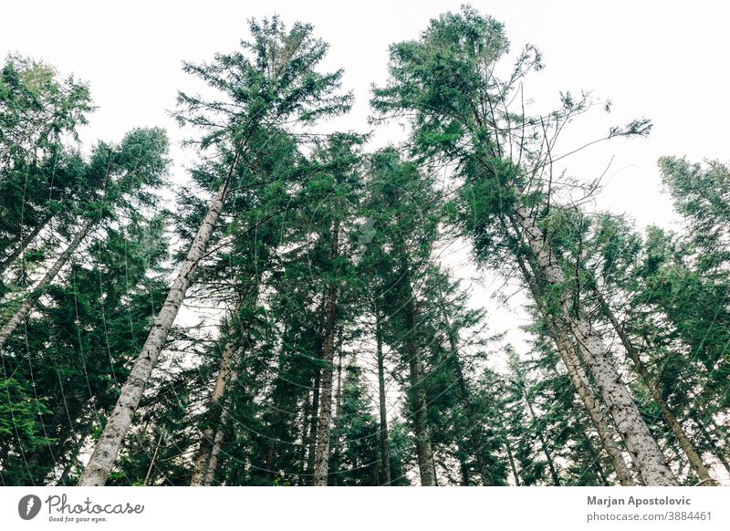 View of the pine tree tops in daylight adventure background beautiful branch environment evergreen explore fir foliage forest growth high landscape leaf lush