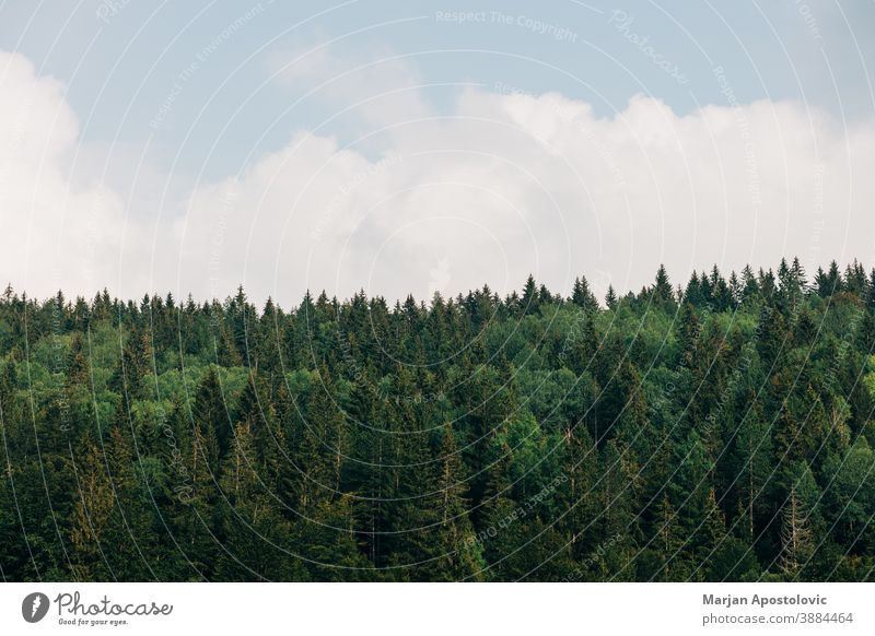 View of a pine tree forest on a sunny day adventure background beautiful blue bright calm cloud daylight ecology ecosystem environment evergreen explore foliage