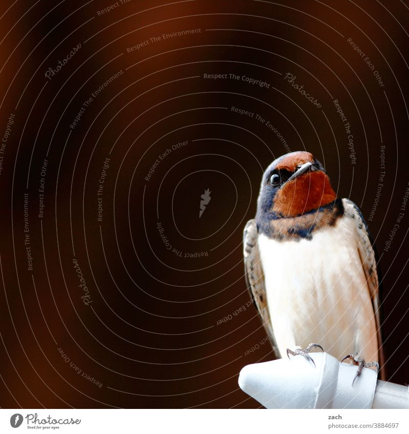 under observation Swallow swallow Bird Sit plumage Plumed Brown Nature Animal Observe White